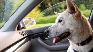Peut-on briser la vitre d'une voiture pour sauver un animal en détresse ?